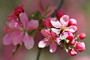 Beauty Mark Posters - Flowering Crabapple Detail Poster by Mark J Seefeldt