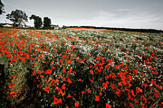 Painted Image Framed Prints - Flowering Poppy Field, Scotland, Uk Framed Print by Craig Brown