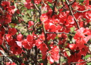 Quince Prints - Flowering Quince Print by Carol Groenen