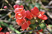 Quince Prints - Flowering Quince Print by Jan Amiss Photography
