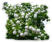 Striking Photography Digital Art Prints - Flowering Snowball Shrub Print by Will Borden