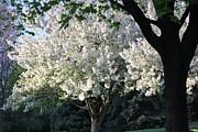 Flowering Springtime Tree Print by James Hammen