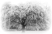 Adspice Studios Prints - Flowering Tree in Black and white Print by ArtyZen Studios