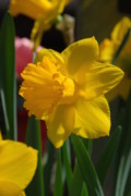 Daffodils Photographs Prints - Flowers 130 Print by Joyce StJames