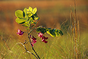 South Carolina Prints - Flowers And Leaves Of A Dwarf Locust Print by Raymond Gehman