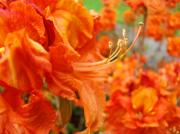Flower Photographs Prints - Flowers Azalea Garden Orange Azalea Flowers 1 Giclee Prints Baslee Troutman Print by Baslee Troutman Fine Art Collections