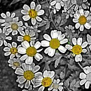 Floral Art - #flowers #flower #daisy by Samantha J