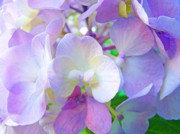 Purple Hydrangea Photos - FLOWERS HYDRANGEAS Art Prints Floral Garden Baslee Troutman by Baslee Troutman Art Print Gifts Collections