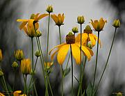 Cone Flower Prints - Flowers in the rain Print by Robert Meanor