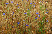 Digital-photography Photo Prints - Flowers in Wheat Field Print by Steven  Michael