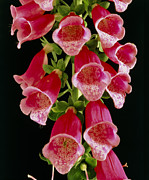 Digitalis Photos - Flowers Of The Foxglove, Digitalis by Michael Marten