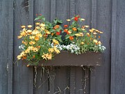 Barnboard Prints - FLOWERS Summer Blooms on the Barn Print by William OBrien