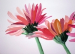 Gerbera Daisy Paintings - Flowers by Tom Kilbane