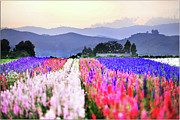 Mountain Range Photos - Flowers Tulips In Rows In Fields by John B. Mueller Photography