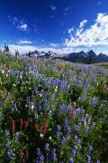 Mt Rainier National Park Art - Flowers With Tattosh Mountains, Mt by Natural Selection Craig Tuttle