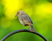 Small Bird Posters - Flowing Female Cowbird Poster by Bill Tiepelman