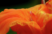 Canna Photo Prints - Flowing Print by Jeannie Burleson