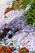 Phlox Prints - Flowing Phlox Print by Jan Amiss Photography