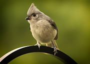 Tufted Titmouse Framed Prints - Flowing Tufted Titmouse Framed Print by Bill Tiepelman