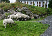 Bergen Posters - Floyen Sheep Poster by Nina Fosdick