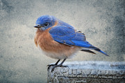 Eastern Bluebird Posters - Fluffy Bluebird Poster by Bonnie Barry