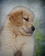 Veterinarian Posters - Fluffy Golden Puppy Poster by Susan Candelario