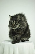 Alertness Photos - Fluffy Gray Cat Posing On White Background by Photography by Marti Mills