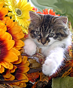 Kitteh Prints - Fluffy Kitten Staring at a Mouse - Cute Kitty Cat in Fall Autumn Colours with Gerbera Flowers Print by Chantal PhotoPix