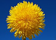 Marilynne Bull - Fluffy Little Dandelion