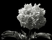 Flower Photos Framed Prints - Fluffy Peony in Black and White Framed Print by Endre Balogh