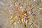 Dandelion Photos Framed Prints - Fluffy Puffy Framed Print by Agrofilms Photography