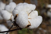Boll Photos - Fluffy White Alabama Cotton by Kathy Clark
