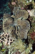 Marine Mollusc Metal Prints - Fluted Giant Clam Metal Print by Georgette Douwma