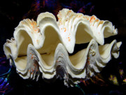 Frank Wilson Framed Prints - Fluted Giant Clam Shell Framed Print by Frank Wilson