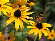 Black Eye Susan Prints - Flutter By Print by Bev Veals