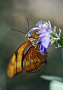 Gulf Fritillary Photos - Flutter My Heart  by Saija  Lehtonen