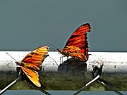 Mating Season Framed Prints - Flutterby Courtship Framed Print by Al Bourassa