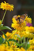 Fluttering Monarch Butterfly Print by Lila Fisher-Wenzel