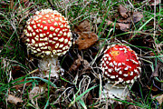 Mutualism Prints - Fly Agaric Fungi Print by Dr Keith Wheeler
