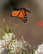 Butterfly In Flight Framed Prints - Fly away - Monarch Butterfly Framed Print by Carl Jackson