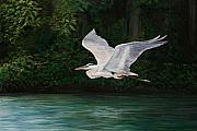 Great Blue Heron Paintings - Fly By by Charlotte Yealey