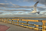 Flying Seagull Framed Prints - Fly Bye Framed Print by David Clark