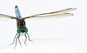Dragon Fly Posters - Fly Close Dragonfly Poster by Jenna Mackay