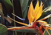 Yellow Bird Of Paradise Photos - Fly Like A Bird by Jan Amiss Photography