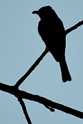 Silhouette Pyrography Prints - Flycatcher with Bug Print by Jeffrey Platt