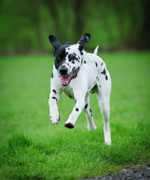 Dalmation Prints - Flying ares Print by Andy-Kim Moeller