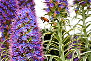 Macro Photographs Prints - Flying Bee on Purple Pride of Madeira Flowers . 7D14839 Print by Wingsdomain Art and Photography