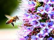 Bee Photographs Posters - Flying Bee on Purple Pride of Madeira Flowers . 7D14843 Poster by Wingsdomain Art and Photography