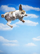Bulldog Framed Prints - Flying Bulldog Puppy Framed Print by Fuse