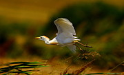 Wade Prints - Flying Cattle Egret Print by Robert Frederick